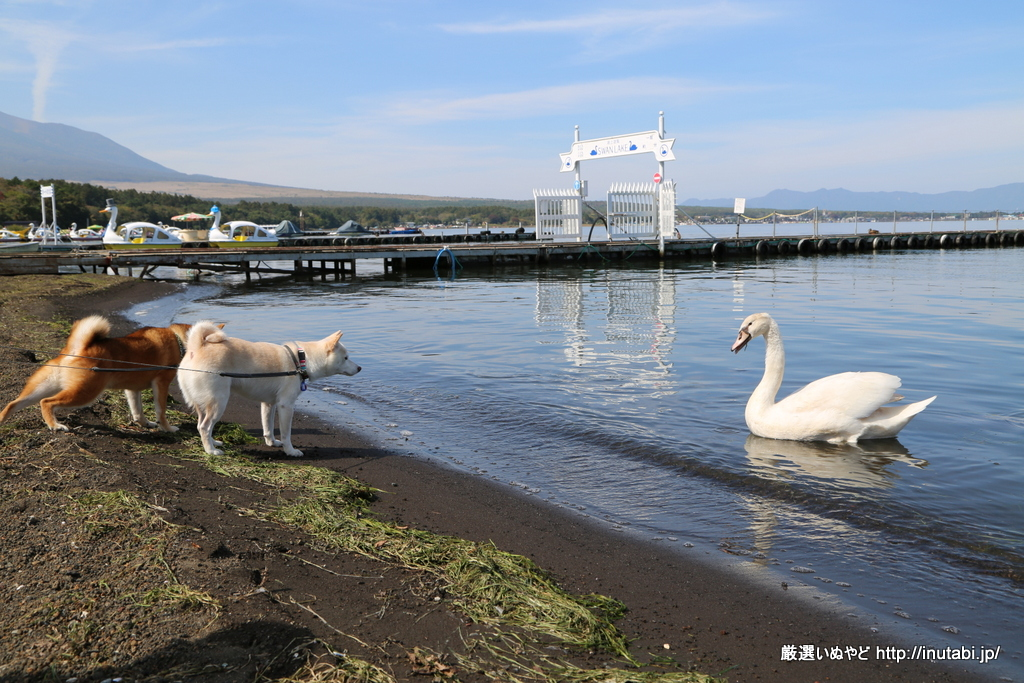 山中湖畔 旭日丘公園 白鳥との闘い