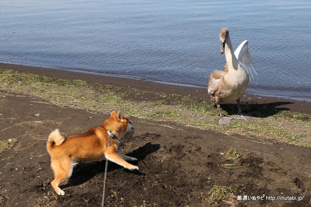 山中湖畔 旭日丘公園 柴犬vs白鳥対決